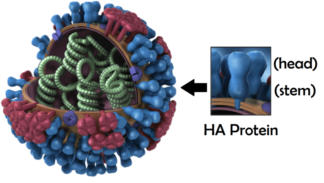 Cut-away diagram of flu virus particle with genetic material in green and HA protein in blue, on outer surface and magnified on right. Credit: Modified, from CDC.gov, original illustrated by Dan Higgins