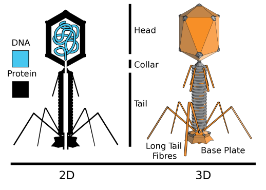 Ada - Bacteriophage Fig. 2.png