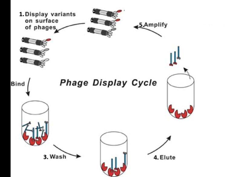 bacteriophage display.png