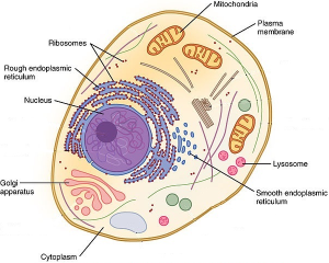An-eukaryotic-cell