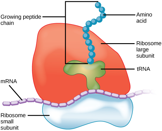 Ribosome_Translation